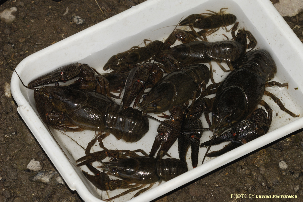 how to catch crayfish snorkeling
